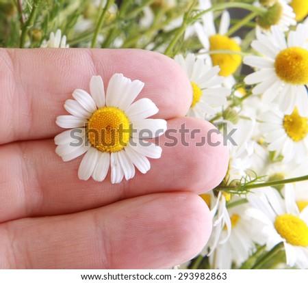 hand holding chamomile flowers - stock photo