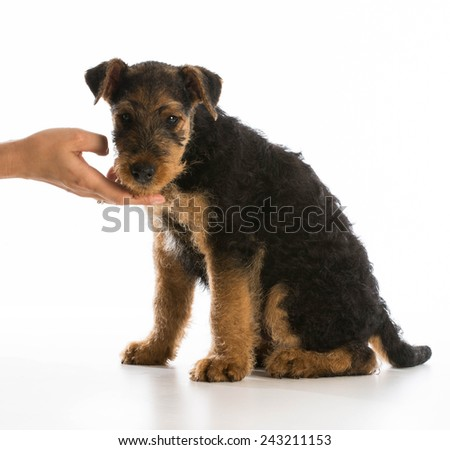 hand holding chin of airedale terrier puppy on white background - stock photo