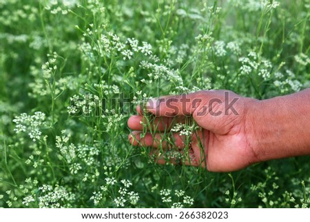 Hand holding coriander flower in a vegetable field - stock photo
