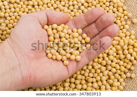 Hand holding dried soybean sample over soybean pile - stock photo