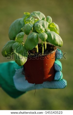 Hand holding flower pot with basil. Selective focus, shallow DOF. - stock photo