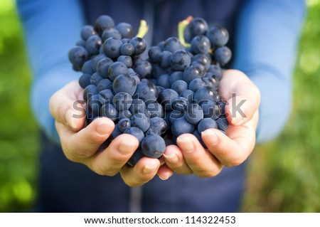 Hand Holding Fresh Red Bunch of Grapes In The Vineyard - stock photo