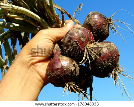 hand holding fresh red onions bunch against blue sky                                - stock photo