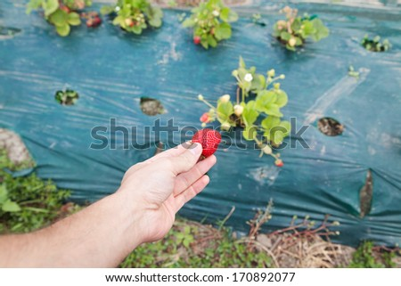 Hand holding ripe red strawberry against blurred bushes - stock photo