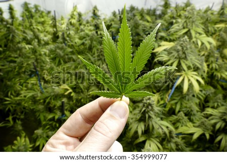 Hand Holding Small Marijuana Leaf with Indoor Cannabis Plants in Background - stock photo