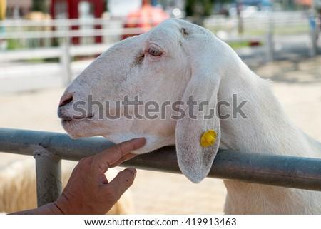 Hand holding the sheep chin - stock photo