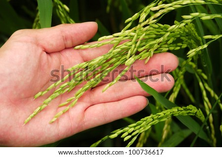 Hand holding young unharvested paddy - stock photo
