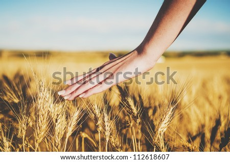 Hand in a wheat field - stock photo