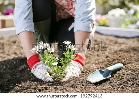 Hand of a woman planting a flower seedlings in the garden, - stock photo