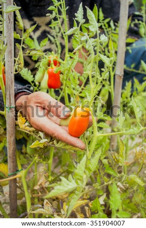 Hand of a young men harvesting mature tomatoes in a vegetable garden. - stock photo