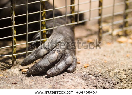 Hand of an imprisoned gorilla through the cage - stock photo