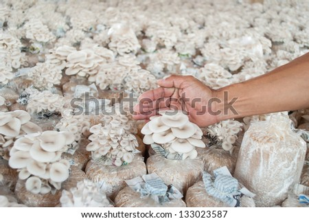 Hand of hold bag of mushrooms grown on the farm. - stock photo