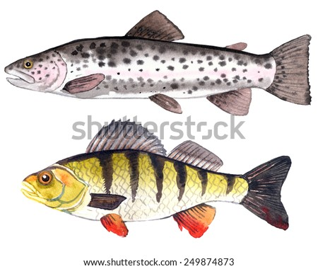 Hand-painted watercolor illustration of a fishes: freshwater perch and rainbow trout.  - stock photo