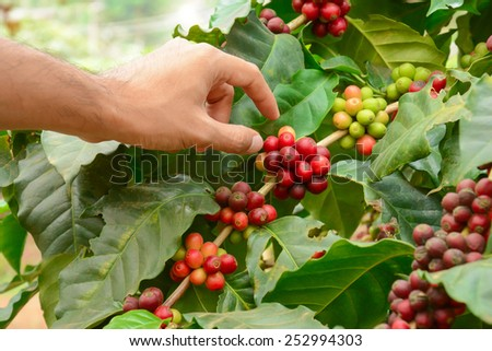 Hand picking red Arabica coffee beans on coffee tree - hand focused - stock photo