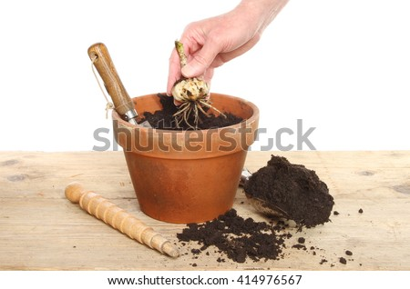 Hand planting a Lilly bulb into a terracotta pot on a potting bench against a white background - stock photo