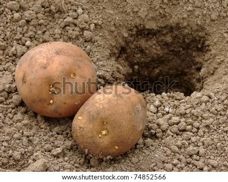 hand planting potato tuber into the ground - stock photo