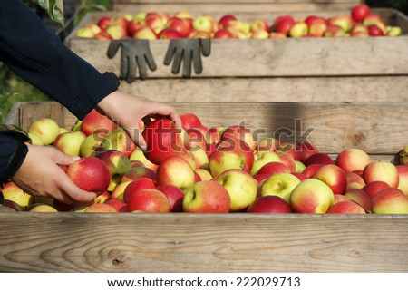 Hand puts an apple in a wooden crate of freshly picked apples - stock photo