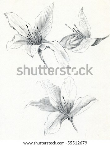 Hand sketch of Bauhinia blakeana flowers, the flower of Hong Kong - stock photo
