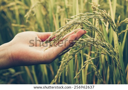 hand tenderly touching a young rice in the paddy field - stock photo