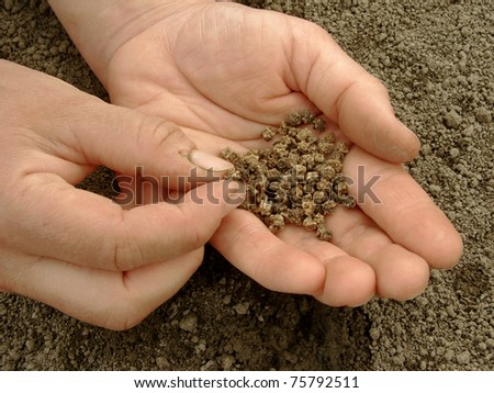 hand with beetroot seeds ready to sowing - stock photo
