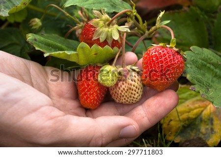 hand with berry strawberries - stock photo