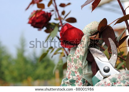 hand with garden gloves trims a rose - stock photo