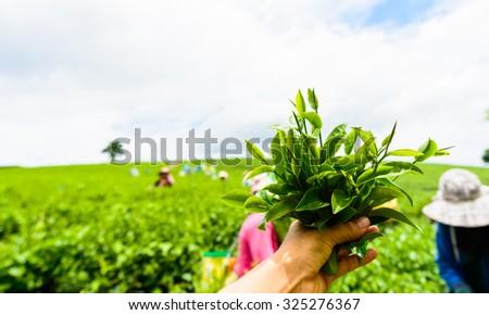 hand with green tea at tea garden - stock photo