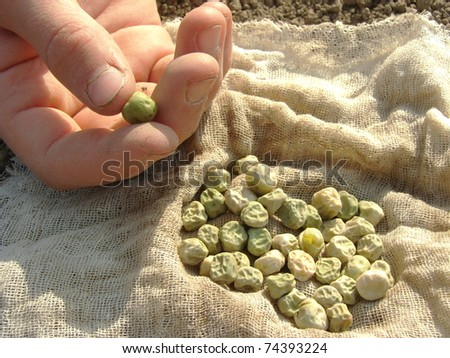 hand with peas seeds ready to sowing - stock photo