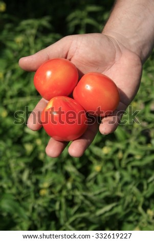 Hand with three tomatoes on the background of green bush tomato. - stock photo