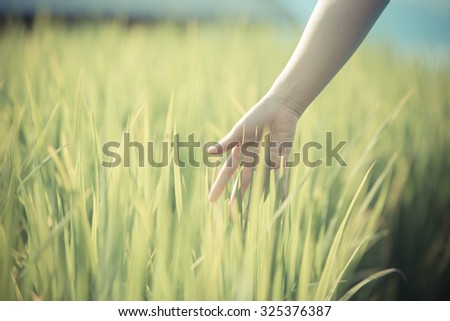 Hand woman touch in wheat field. agriculture rural scene - stock photo