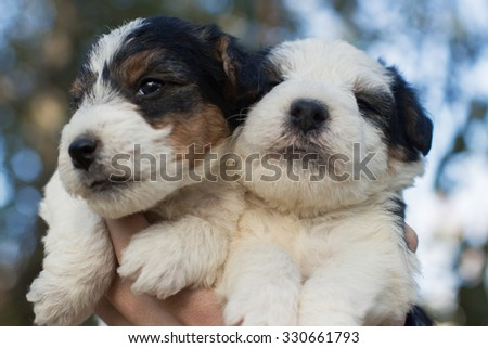 Handful of fox terrier puppies.  - stock photo