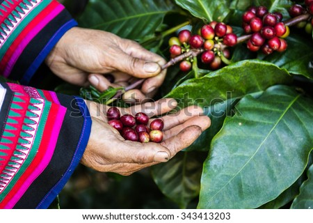 Handful of fresh organic coffee beans. Coffee beans ripening on tree in North of thailand. - stock photo