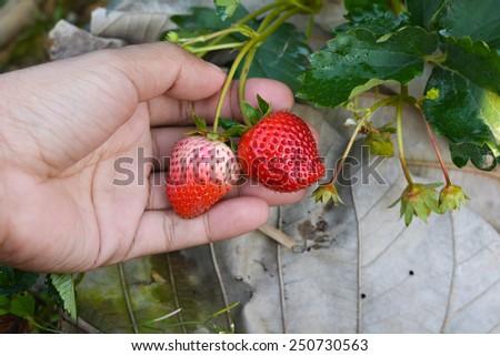 Handle strawberry - stock photo