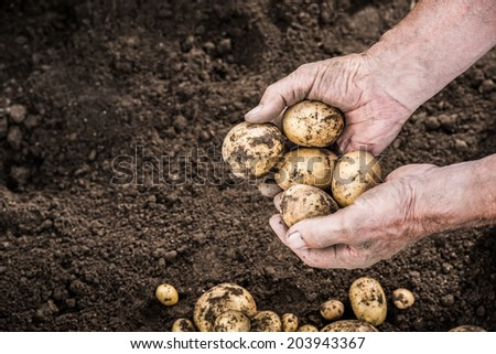 Hands harvesting fresh organic potatoes from soil - stock photo