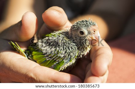 Hands holding a baby orange-fronted parakeet outdoors in the sunshine - stock photo