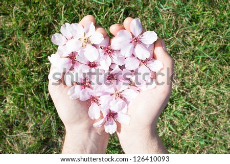 Hands holding an almond tree flower heart isolated on grass background. Valentine's day. - stock photo