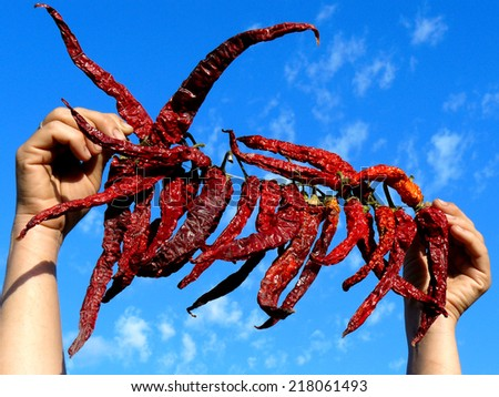 hands holding bunch of dry hot chili peppers - stock photo