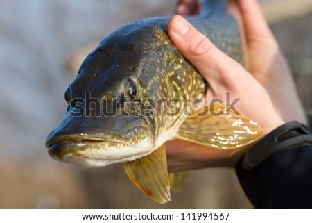 Hands holding caught freshwater pike, ready for releasing back to the water. - stock photo