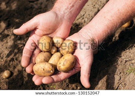 Hands holding fresh potatoes just dug out of the ground - stock photo