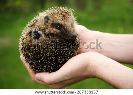 Hands holding hedgehog outdoors - stock photo