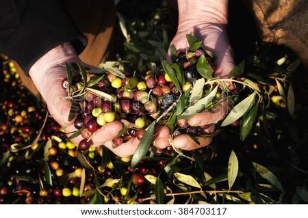 Hands holding olives. Harvesting Olives in a Catalan Village. - stock photo
