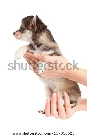 Hands holding puppy.little puppy sitting on the palm. chihuahua dog isolated on white background - stock photo