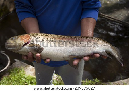 Hands holding Rainbow Trout - stock photo