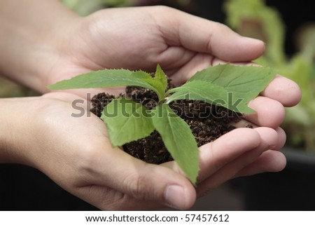 Hands holding sapling plants in soil in a natural setting - stock photo