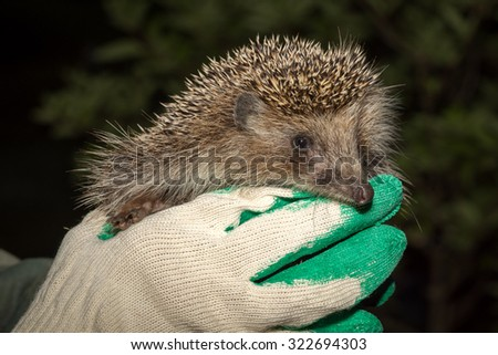 Hands holding small hedgehog fixed - stock photo