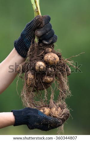 hands in gloves holding digging bush potato - stock photo