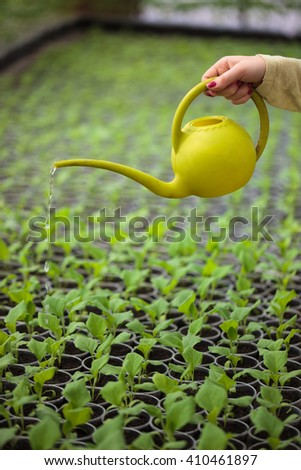 Hands of farmer woman waters rows of green plant seedlings in greenhouse with a watering can. Cultivated sprouts in rich soil were grown under the sun in glasshouse, macro close up - stock photo