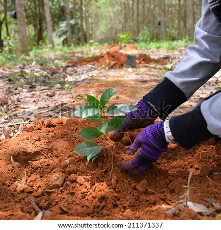 Hands of farmers to plant coffee seedlings in plantations. - stock photo