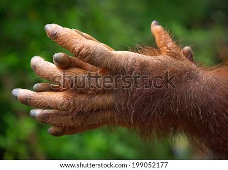 Hands of Orangutan. - stock photo