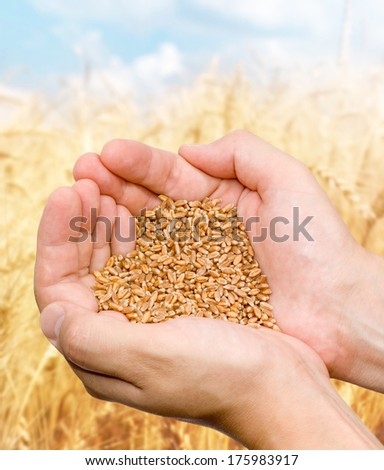 Hands of the grain-grower against a wheaten field - stock photo